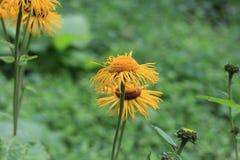 Blühender hoher Inula Helenium Inula im Biogarten Heilpflanze, homeopatic Lizenzfreie Stockfotos