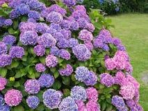 Blühender Hortensia, Hortensie macrophylla Lizenzfreies Stockfoto