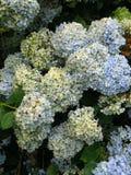 Blühender Hydrangea. Lizenzfreie Stockfotografie