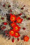 Blühender Igeler Kaktus Lizenzfreies Stockfoto