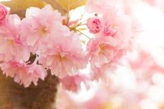 Blühender japanischer Kirschbaum Stockbild