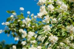 Blühender Jasmin Stockfotografie