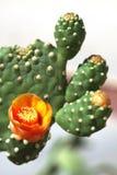 Blühender Kaktus Lizenzfreie Stockfotografie