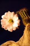 Blühender Kaktus Stockfoto