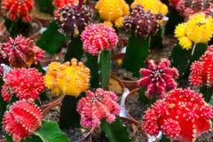 Blühender Kaktus Lizenzfreies Stockbild