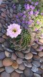 Blühender Kaktus Stockbild