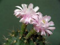 Blühender Kaktus der Familie Gymnocalicium. Stockfotos