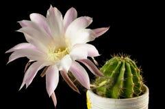 Blühender Kaktus in einem keramischen Topf auf einem schwarzen Hintergrund Lizenzfreie Stockfotografie