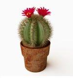 Blühender Kaktus mit purpurroter Blume Lizenzfreies Stockbild