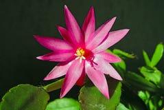 Blühender Kaktus Schlumbergera. Stockbild