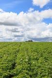 Blühender Kartoffelacker stockbilder