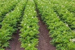 Blühender Kartoffelacker stockfoto