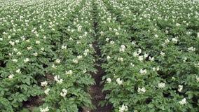 Blühender Kartoffelacker lizenzfreie stockfotos