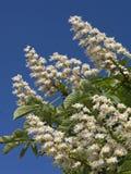 Blühender Kastaniebaum blüht auf dem blauen Himmel Stockbilder