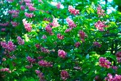 Blühender Kastaniebaum Rosa blühte Blumen eines Kastanienbaums Blumen und Gartenarbeit Stockfotos