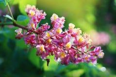 Blühender Kastaniebaum Rosa blühte Blumen eines Kastanienbaums Blumen und Gartenarbeit Lizenzfreies Stockfoto