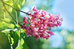 Blühender Kastaniebaum Rosa blühte Blumen eines Kastanienbaums Blumen und Gartenarbeit Stockbilder