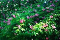 Blühender Kastaniebaum Rosa blühte Blumen eines Kastanienbaums Blumen und Gartenarbeit Stockbild