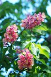 Blühender Kastaniebaum Rosa blühte Blumen eines Kastanienbaums Blumen und Gartenarbeit Stockfoto