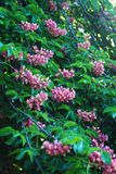 Blühender Kastaniebaum Rosa blühte Blumen eines Kastanienbaums Blumen und Gartenarbeit Lizenzfreie Stockfotografie