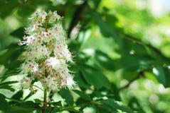 Blühender Kastaniebaum Weiße geblühte Blumen eines Kastanienbaums Blumen und Gartenarbeit Stockfotografie