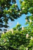 Blühender Kastaniebaum Weiße geblühte Blumen eines Kastanienbaums Blumen und Gartenarbeit Stockbild
