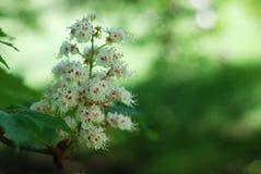 Blühender Kastaniebaum Weiße geblühte Blumen eines Kastanienbaums Blumen und Gartenarbeit Stockfotos