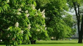 Blühender Kastanienbaum des Frühlinges stock footage