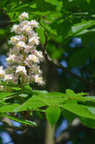 Blühender Kastanienbaum im Frühjahr Stockfotografie