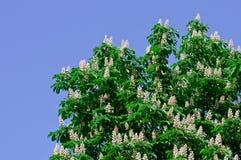 Blühender Kastanienbaum im Frühjahr Stockbild