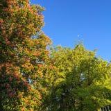 Blühender Kastanienbaum und Mond auf einem blauen Himmel stockfotografie