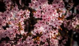 Blühender Kirschbaum stockbilder