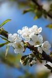 Blühender Kirschbaum Stockfoto