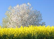Blühender Kirschbaum Stockfotografie