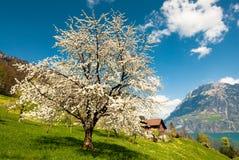 Blühender Kirschbaum Stockbild