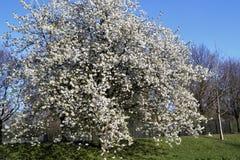 Blühender Kirschbaum lizenzfreies stockbild