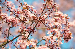 Blühender Kirschbaum des Frühlinges mit Weichzeichnung stockfotografie