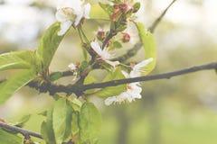 Blühender Kirschbaum im Frühjahr Addieren Sie Dunsteffekt Stockfoto