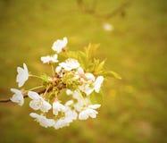 Blühender Kirschbaum im Frühjahr Nahaufnahme Kirschbaum im Garten Addieren Sie Dunsteffekt und anderen Filter Lizenzfreie Stockfotografie