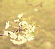Blühender Kirschbaum im Frühjahr Nahaufnahme Kirschbaum im Garten Addieren Sie Dunsteffekt und anderen Filter Lizenzfreie Stockbilder