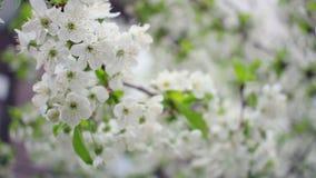 Blühender Kirschbaum Kirschblume auf Baum Wind beeinflußt Kirschblüte stock footage