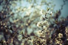 Blühender Kirschbaum mit blauem Hintergrund Stockbilder