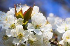 Blühender Kirschbaum, weiße Kirschblüten im Frühjahr Lizenzfreies Stockbild
