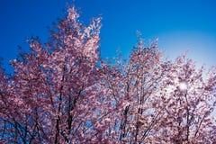 Blühender Kirschblüte-Baum in der Mitte von Pushkin Stockfoto