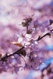 Blühender Kirschblüte-Baum in der Mitte von Pushkin Lizenzfreies Stockfoto