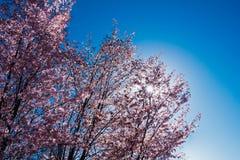 Blühender Kirschblüte-Baum in der Mitte von Pushkin Lizenzfreies Stockbild