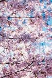 Blühender Kirschblüte-Baum in der Mitte von Pushkin Stockbild