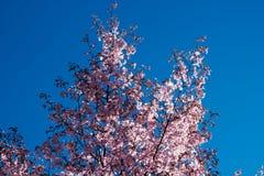 Blühender Kirschblüte-Baum in der Mitte von Pushkin Stockfotos