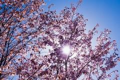 Blühender Kirschblüte-Baum in der Mitte von Pushkin Lizenzfreie Stockfotografie