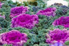 Blühender Kohl Stockbilder